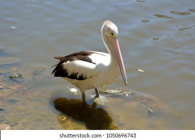 Australian pelican (Pelecanus conspicillatus) by the water in Queensland, Australia.