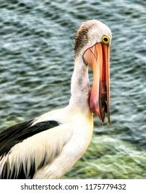 Australian pelican (Pelecanus conspicillatus) with fish in its beak,