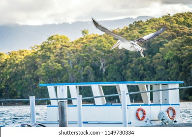 Australian pelican Pelecanus conspicillatus flying above a lake at sunset