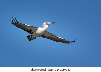 Australian Pelican, Pelecanus Conspicillatus. gliding over head.