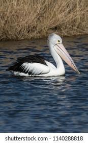 Australian Pelican, Pelecanus Conspicillatus. just cruising with reeds in background. Portrait orientation.