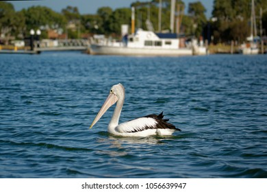 The Australian pelican (Pelecanus conspicillatus) is a large waterbird of the family Pelecanidae, widespread on the inland and coastal waters of Australia and New Guinea, also in Fiji,