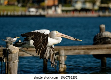 The Australian pelican (Pelecanus conspicillatus) is a large waterbird of the family Pelecanidae, widespread on the inland and coastal waters of Australia and New Guinea, also in Fiji