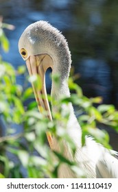 The Australian pelican, Pelecanus conspicillatus, is a large waterbird of the family Pelecanidae, widespread on the inland and coastal waters of Australia