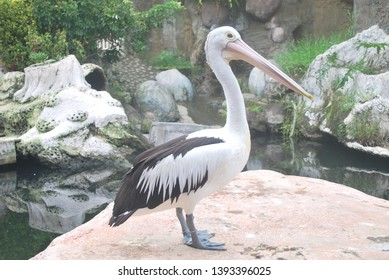 Australian pelican (Pelecanus conspicillatus) is a large waterbird in the family Pelecanidae, widespread on the inland and coastal waters of Australia and New Guinea, also in Fiji, parts of Indonesia