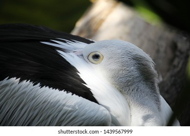 The Australian pelican (Pelecanus conspicillatus) is a large waterbird in the family Pelecanidae, widespread on the inland and coastal waters of Australia and New Guinea