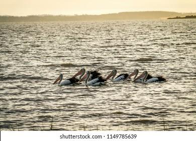 Australian Pelican Pelecanus conspicillatus looking for food on Lake Colac at sunset