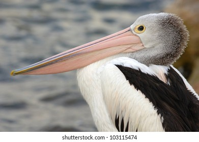 Australian Pelican (Pelecanus conspicillatus) on Kangaroo Island, off Adelaide, South Australia