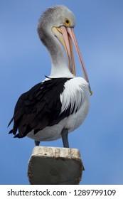 Australian Pelican (Pelecanus conspicillatus), on the light,  American River, Kangarro Island, South Australia, Australia.