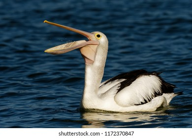 The Australian pelican (Pelecanus conspicillatus) with the prey of fish, widespread on the inland and coastal waters of Australia and New Guinea, Fiji