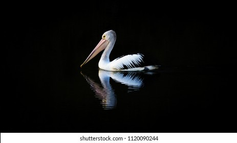 Australian Pelican. Pelecanus conspicillatus. Reflection in water with a dark background and copy space for banner / text.