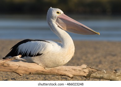Australian pelican (Pelecanus conspicillatus) roosting on driftwood