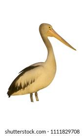 Australian pelican, Pelecanus conspicillatus, single bird, Australia,