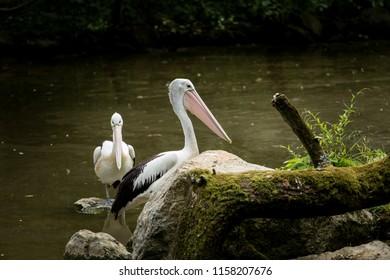 Australian Pelican (Pelecanus conspicillatus) sitting on a rock. Wildlife scene from nature.  Animal in the nature habitat. Birds in a lake.