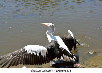 Australian pelican (Pelecanus conspicillatus) with spread wings by the water in Queensland, Australia.