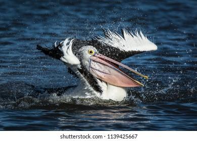 Australian Pelican, Pelecanus Conspicillatus. Thrashsing splashing and cleaning.