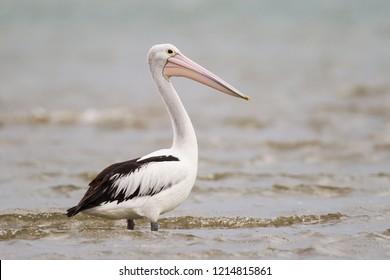 Australian Pelican Pelecanus conspicillatus at Werribee, Victoria, Australia