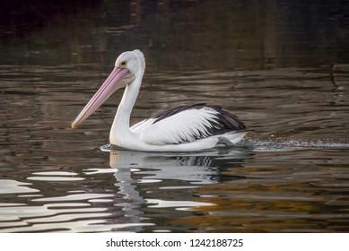 Australian pelican (Pelecanus conspicillatus) . Wild animals in natural habitat