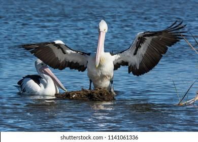 Australian Pelican, Pelecanus Conspicillatus, wings spread and perched on a rock.