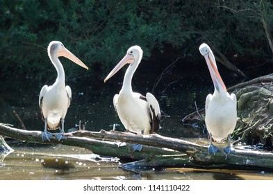 The Australian pelican, Pelecanus conspicillatusm is a large waterbird of the family Pelecanidae, widespread on the inland and coastal waters of Australia