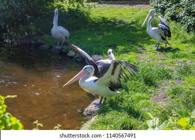 Australian Pelican (Pelicans conspicillatus) birds in a lake.