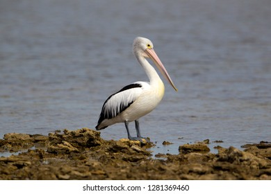 Australian Pelican (Pelicans conspicillatus), Kangaroo Island, South Australia, Australia.