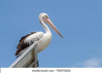 Australian pelican sitting on a solar panel, Pelican Waters, Queensland, Australia
