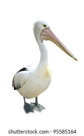 Australian pelican standing proud on a white background.