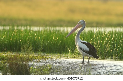 An Australian Pelican standing in wetlands at sunrise.