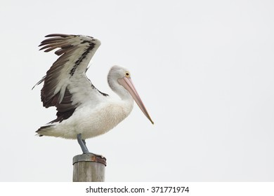 Australian Pelican stretching wings