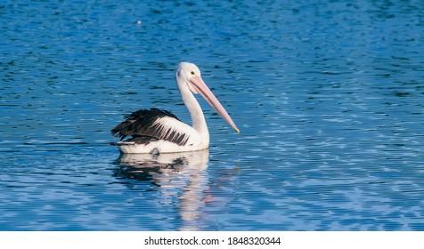 Australian Pelican swimming in water.