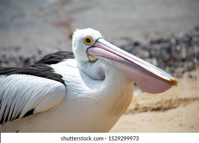 Australian Pelican in Victoria, Australia