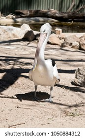 the Australian pelican is waiting to be fed