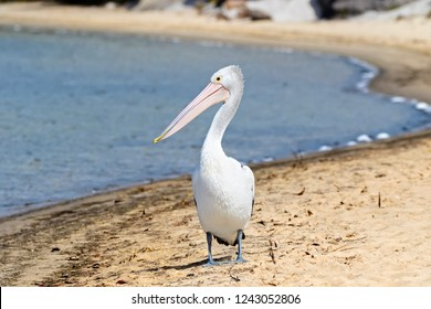 Australian Pelican water bird with pale pink bill walking on Nornalup Inlet beach in Walpole, Western Australia