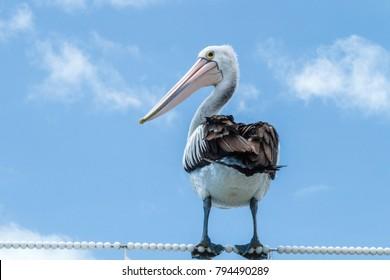 Australian pelican, Pelican Waters, Queensland, Australia