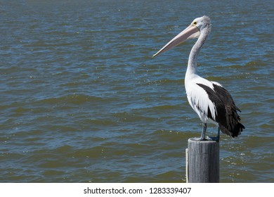 Australian Pelican,Pelecanus Conspicillatus keeping watch from its perch on a boat mooring post. Landscape orientation, room for text.