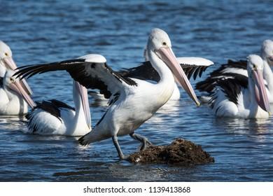 Australian Pelicans compete to perch on rock, Pelecanus Conspicillatus.