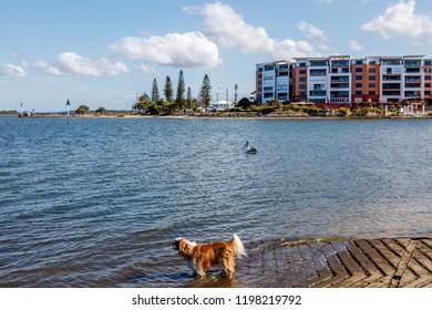 Australian pelicans and a little dog at Golden Beach, Pelican Waters, Queensland, Australia