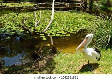 Australian pelicans (Pelecanus conspicillatus) by the water in Queensland, Australia.