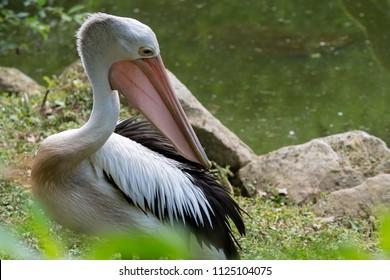 Australian pelicans (Pelecanus conspicillatus) by the water