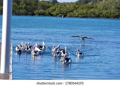 Australian pelicans (Pelecanus conspicillatus) gather on the waters of Camden Haven River at North Haven NSW Australia