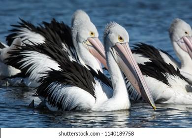 Australian Pelicans, Pelecanus Conspicillatus. grouped up ready to fish.
