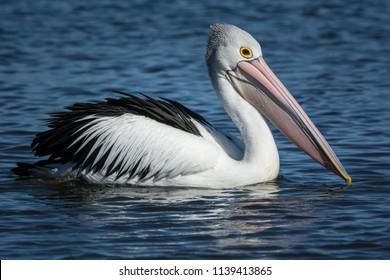 Australian Pelicans, Pelecanus Conspicillatus. just cruising.