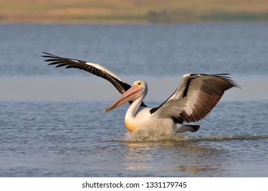 The Australian pelicans (Pelecanus conspicillatus) is a large waterbird of the family Pelecanidae, Australia.