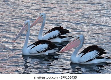 Australian pelicans Pelecanus conspicillatus on calm water surface in late evening light.