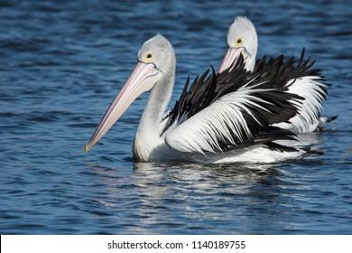 Australian Pelicans, Pelecanus Conspicillatus. pair rustling feathers in the breeze.