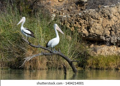 Australian Pelicans, Pelecanus conspicillatus sit back to back on their perch in River Murray, South Australia. Wild native birds in their natural environment.