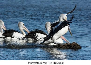 Australian Pelicans, Pelecanus Conspicillatus, wings spread competing to perch on a rock.