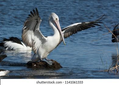 Australian Pelicans, Pelecanus Conspicillatus, wings spread and perched on a rock.