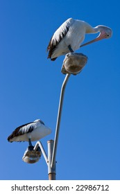 Australian pelicans perched on a lamppost